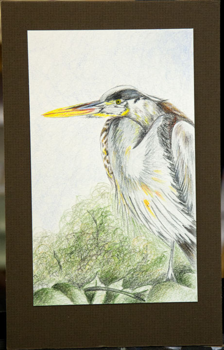 Great Blue Heron Colored Pencil a Janelle Johnson design