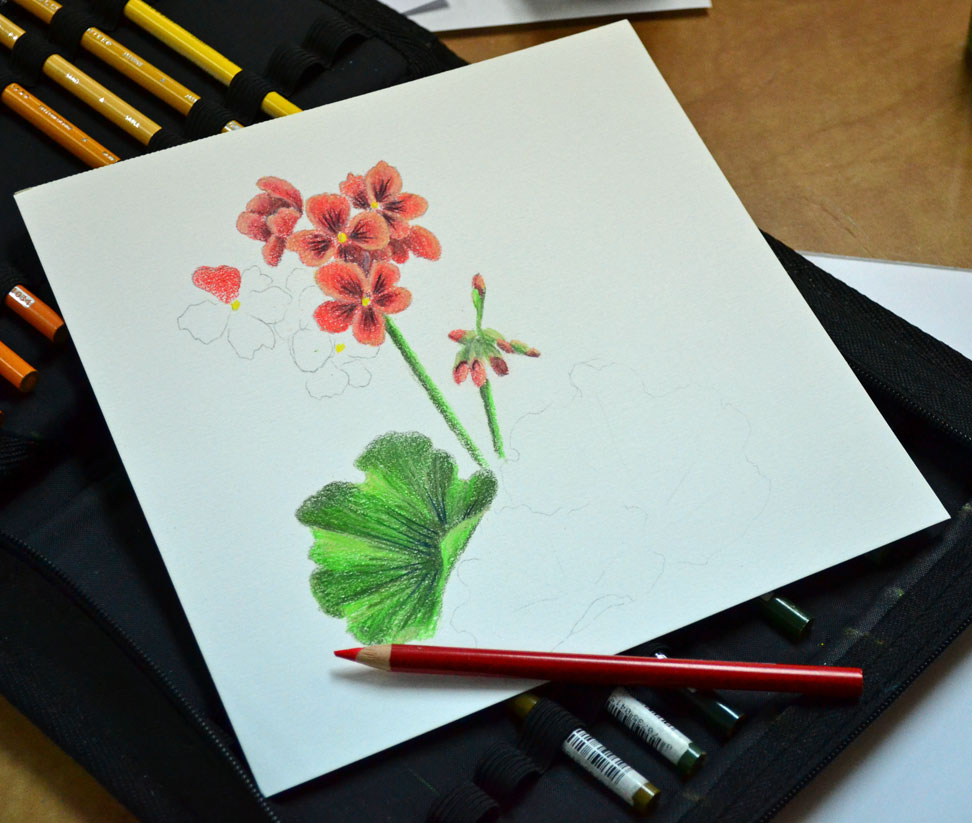 Geraniums in Colored Pencil