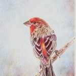 House Finch Colored Pencil A Liz Miller Design
